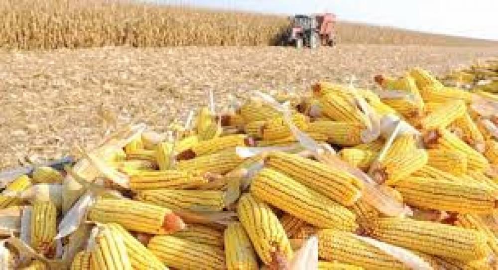 Colheita do milho alcança 56% da área