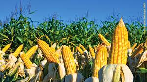 Plantio de milho deve registrar alta de 4% no ciclo 2018/19