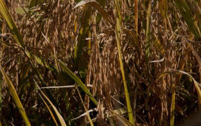 Farsul e Federarroz divulgam nota conjunta sobre manutenção da TEC no arroz